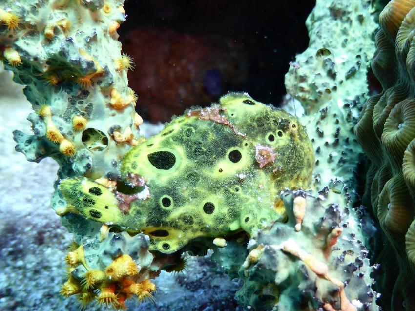Bonaire, Niederländische Antillen, Froggy, Frogfish