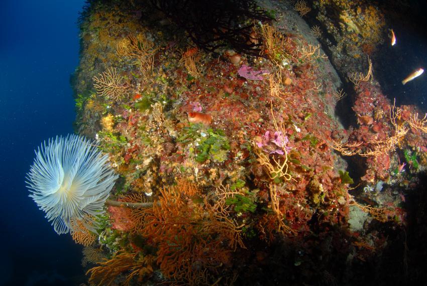 Isola del Giglio, Giglio,Italien,Röhrenwurm,Riff,Koralle