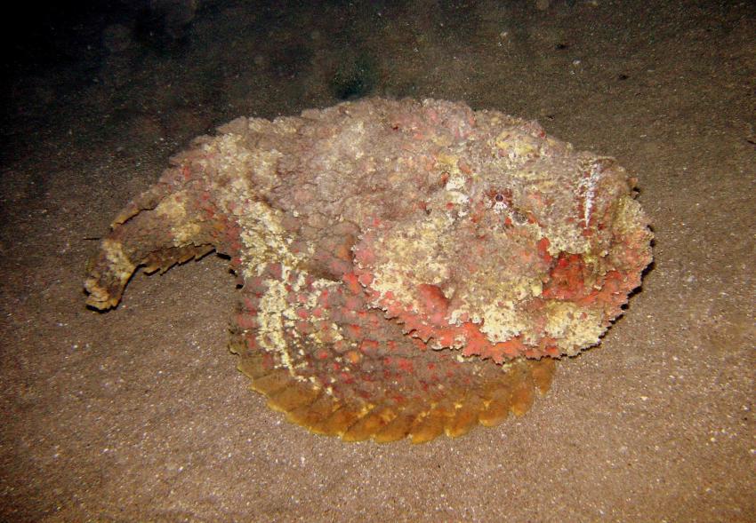 Fetter Skorpionsfisch