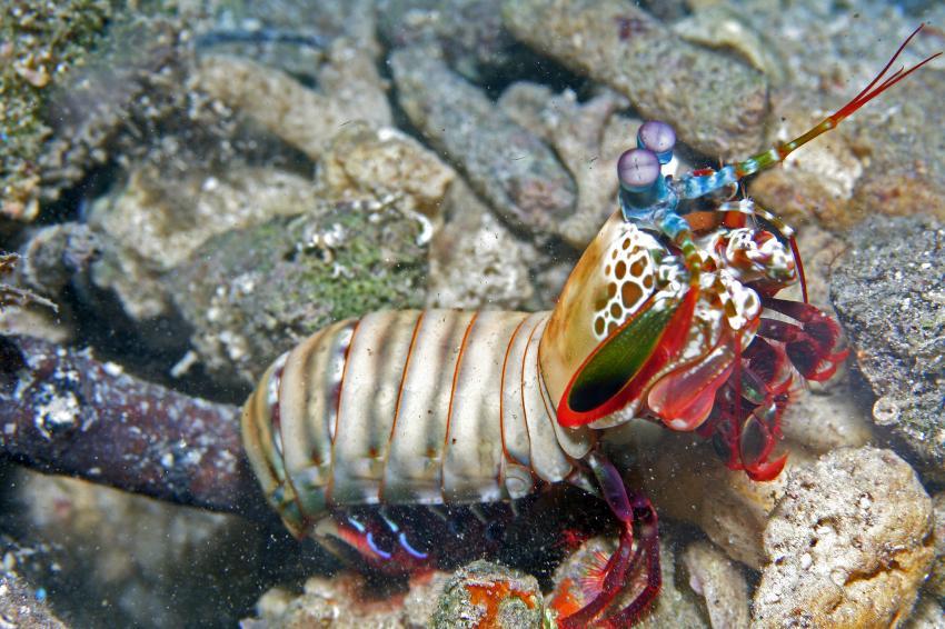 Pulau(= Insel) Sahaung (Bangka Archipel), Pulau Sahaung,Indonesien,Fangschrecken-Krebs (Odontodactylus latirestris)