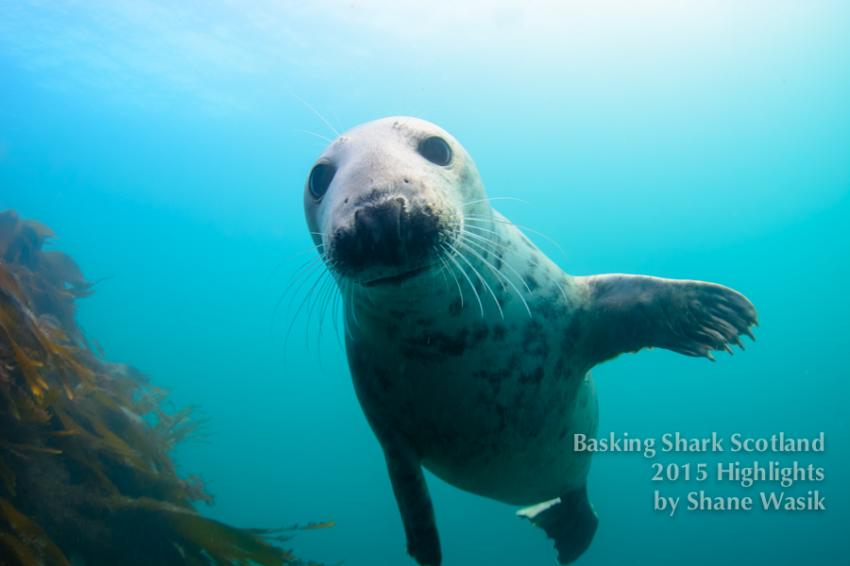 Cairns of Coll, seals, swimmen met seehunden, Basking Shark Scotland, Oban, Großbritannien, Schottland