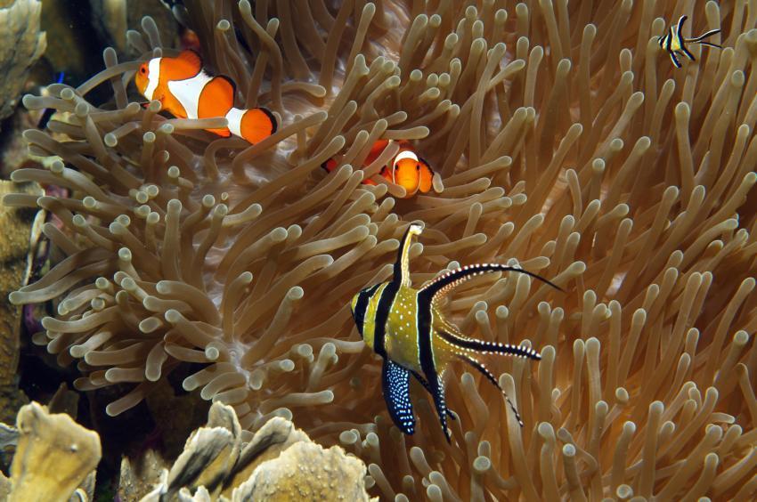 diverse Tauchplätze Juni/Juli 2009, Lembeh Strait,Indonesien,Anemone mit Clownfischen,Banggai-Kardinalbarschen