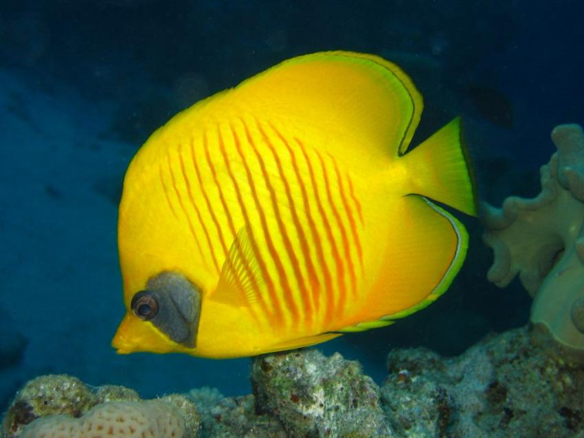 El Quseir - Mangrove Bay, Mangrove Bay  Hausriff,Mangrove Bay,El Quseir,Ägypten,Falterfisch,gelb