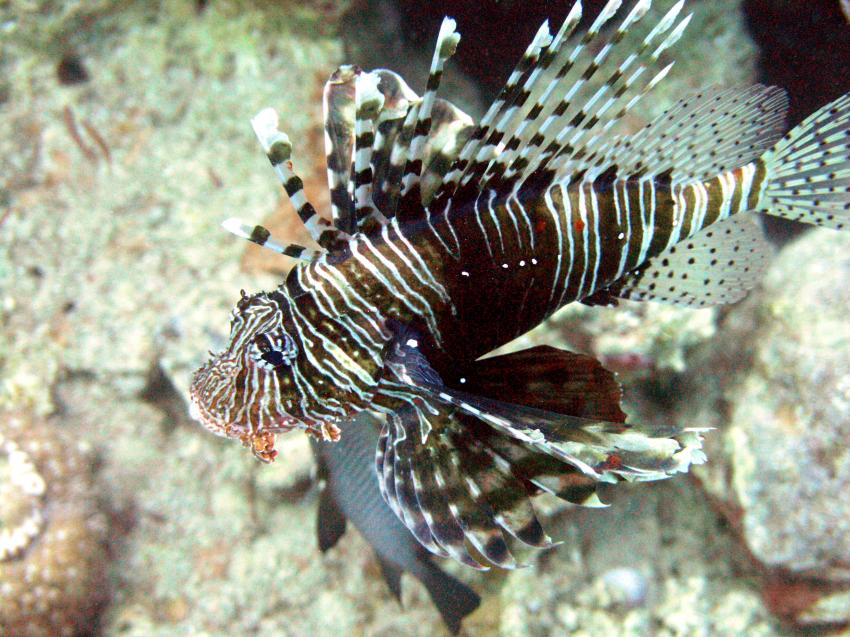 Taba, Taba (Nord-Sinai),Ägypten,Skorpionsfische,Rotfeuerfisch