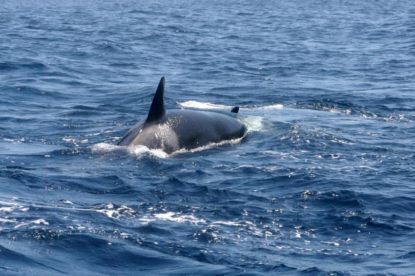 Orca mit zweitem erlegten Delfin, Dive Expert-Tours ,   Südafrika, Südafrika