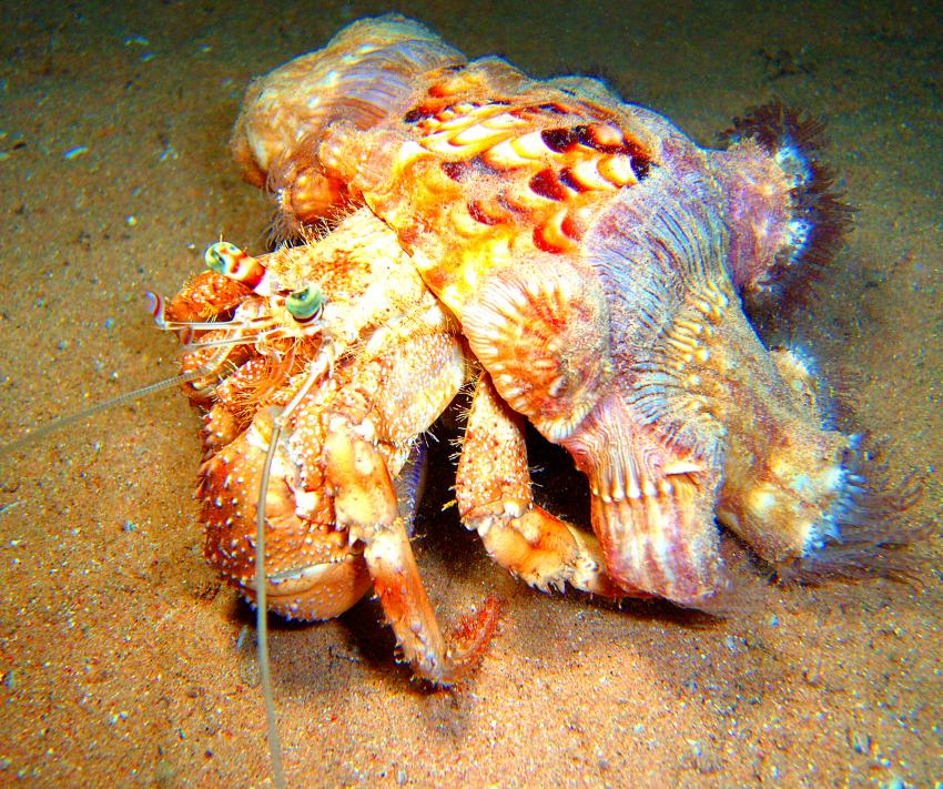 Hausriff Sharm El Arab - Makadi Bay - Extra Diver, Hausriff Sharm El Arab - Makadi Bay - Extra Diver,Ägypten,Einsiedlerkrebs