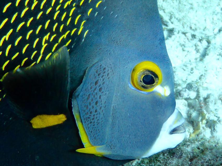 Franzosenkaiserfisch