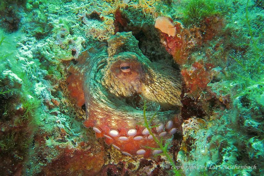 Oktopus, Mittelmeer, Adria, Hang-Loose-Diving, Punat, Insel Krk, Kroatien