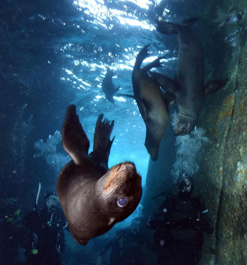 Seal, Seehund, Valentina, Mexiko