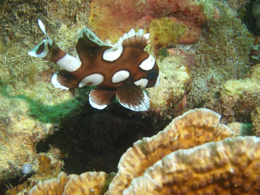 Siquijor, Siquijor,Philippinen,Anemonenfisch