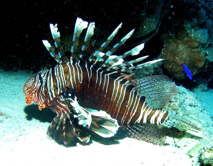 Zabargad Hausriff, Zarbagad,Ägypten,Rotfeuerfisch,Pterois volitans