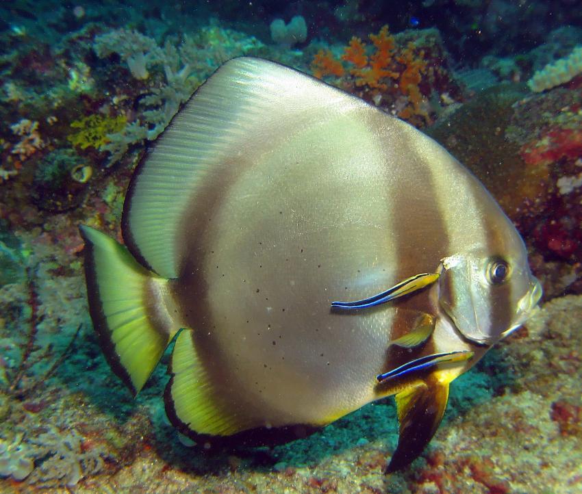 Raja Ampat, Raja Ampat/ Irian Jaya,Indonesien,Fledermausfisch,Putzerdtation,Putzerfische
