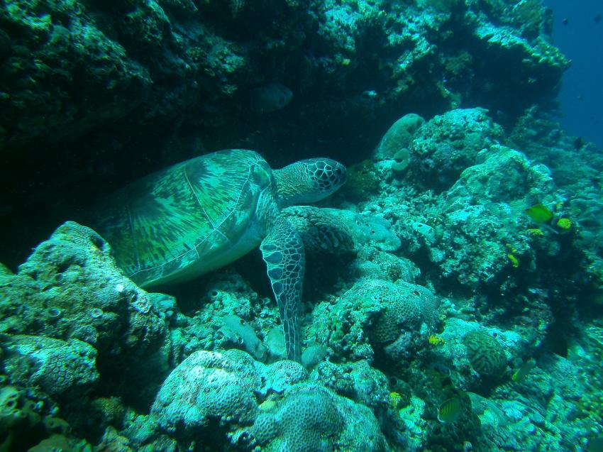 Schildkröten bei jedem Tauchgang, Lumbalumba Diving Resort, Manado, Sulawesi, Indonesien, Sulawesi