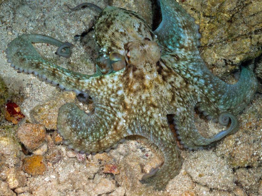 Octopusi, Südliche Ägäis - Symi - Halbinsel Datca,Türkei