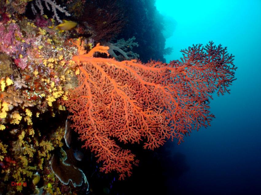 Layang Layang, Layang Layang,Malaysia,Koralle,weich,rot