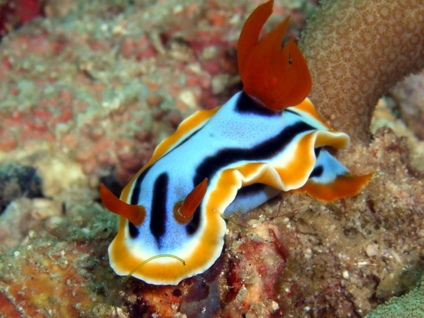 Aberration Dive Club, Hambillica HR