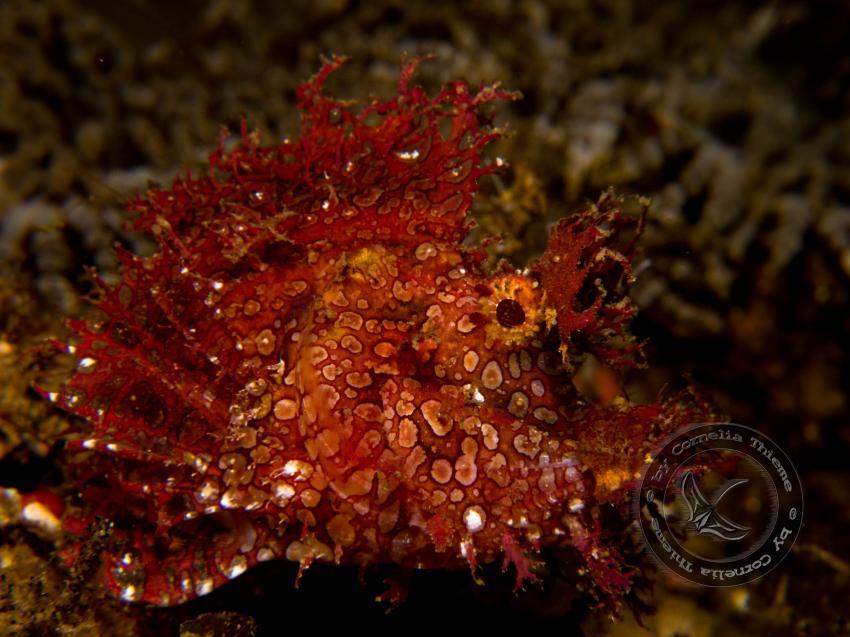 Maluku Divers 2010, Molukken/Ambon,Indonesien,Feuerfisch,rot,Skorpionfisch