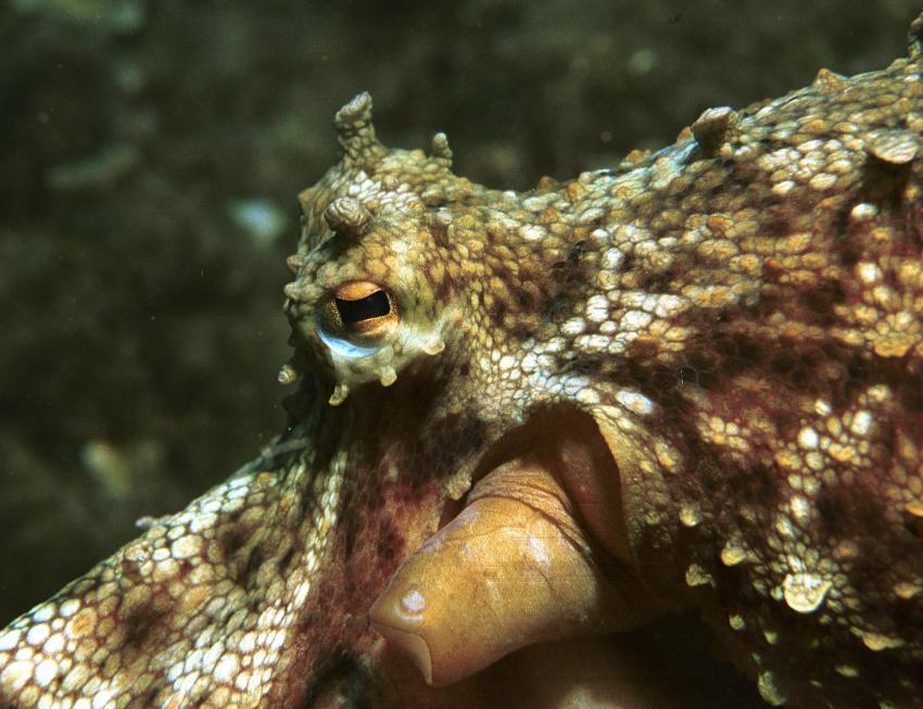 Mallorca Dragonera, Mallorca,Dragonera,Spanien,Octopus,auge,tarnung,auströmrohr,haut,sepia,tintenfisch
