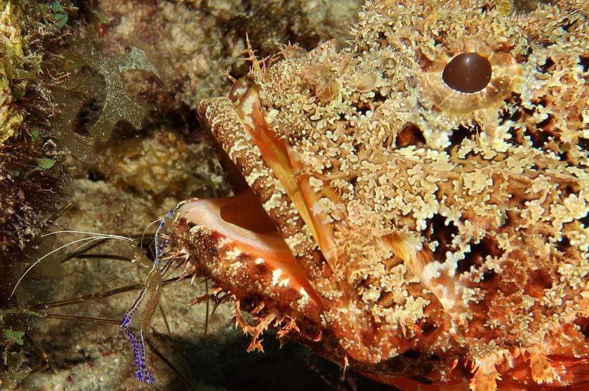 Garnele am Skorpionfisch, Villa Mango Curacao Dive Center, Willemstad, Niederländische Antillen, Curaçao
