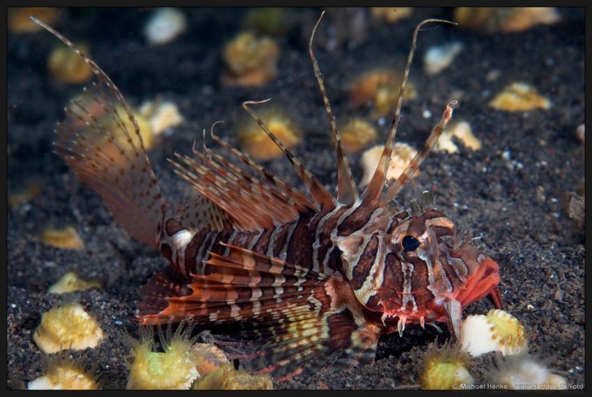 Puri Jati, Puri Jati,Indonesien,Blauflossen-Feuerfisch,feuerfisch