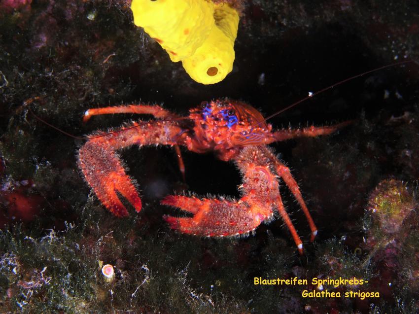 Blaustreifen Springkrebs, Blaustreifen Springkrebs, Styria Guenis Diving Center, DIE Tauchbasis auf der Insel Krk, Diving-Center-Styria-Gueni, DIE Tauchbasis auf der Insel Krk, Kroatien