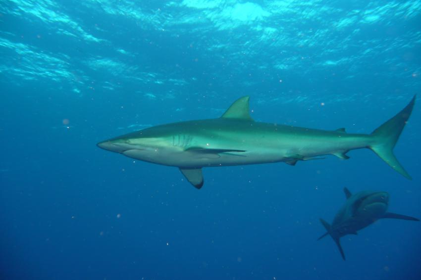 Weißspitzenriffhai in voller Länge