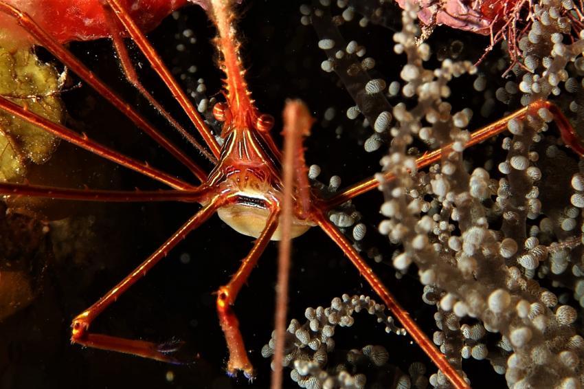 Spinnenkrabbe, Villa Mango Curacao Dive Center, Willemstad, Niederländische Antillen, Curaçao