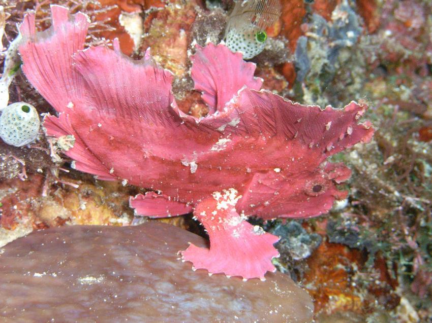 Mabul, Mabul,Malaysia,Anglerfisch,rot