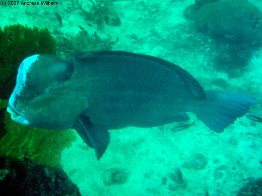 Similan Islands - Sharkfin Reef, Similan Islands - Sharkfin Reef,Thailand