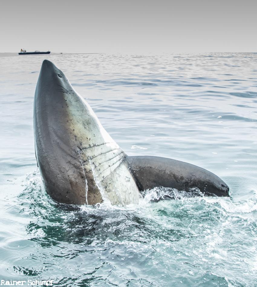 Shark Bonanza / Haitauchen / Expert-Tours.com, Südafrika, Sardine Run, Haitauchen, Weiss Hai, Käfigtauchen, Squid Run, Haie, Seelöwentauchen, Seals, Seebärentauchen, Dive Expert-Tours,  Port Elizabeth