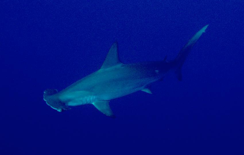 Hammerhai im Blauwasser