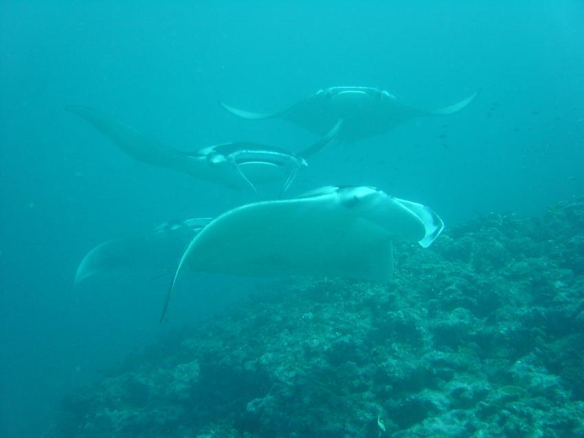 Handhu Falhi Tauchsafari, Handhu Falhi,Malediven,manta,schule,schwarm