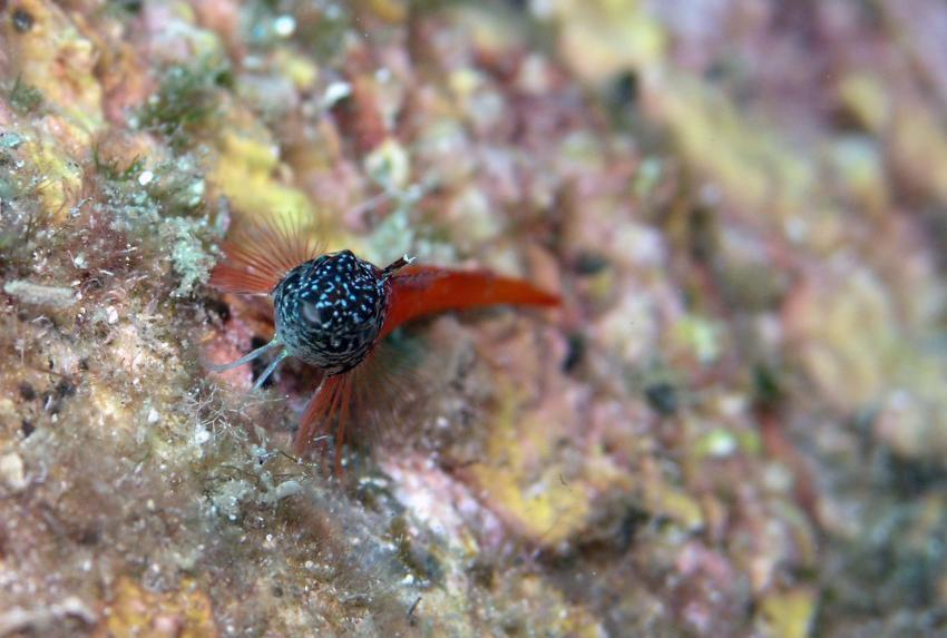 Aqualonde Plongée, La Londe les Maures,Frankreich,Schleimfische,Schwarzkopf-Schleimfisch