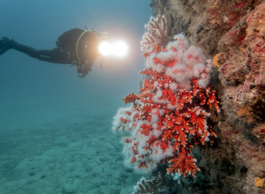 Schwarze Koralle auf Fuerteventura