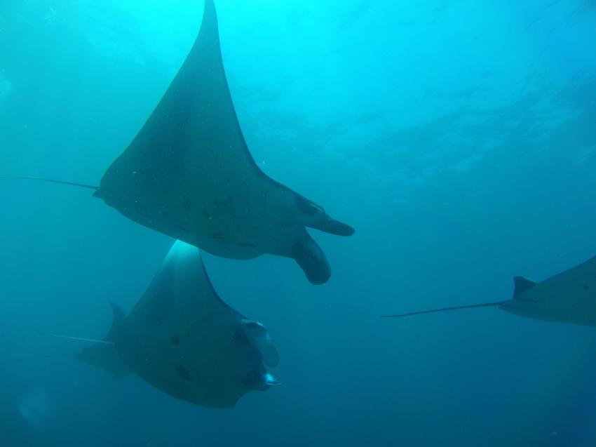 Manta, diving.DE Candidasa, Candi Beach, Bali, Indonesien, Bali