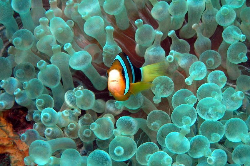 panorama reef, Panorama Reef (Safaga),Ägypten,Clownfisch,Anemonenfische