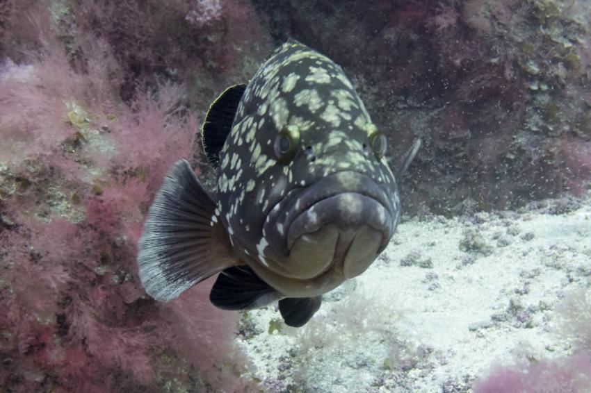 Zackenbarsch frontal, Extra Divers El Hierro, Spanien, Kanaren (Kanarische Inseln)