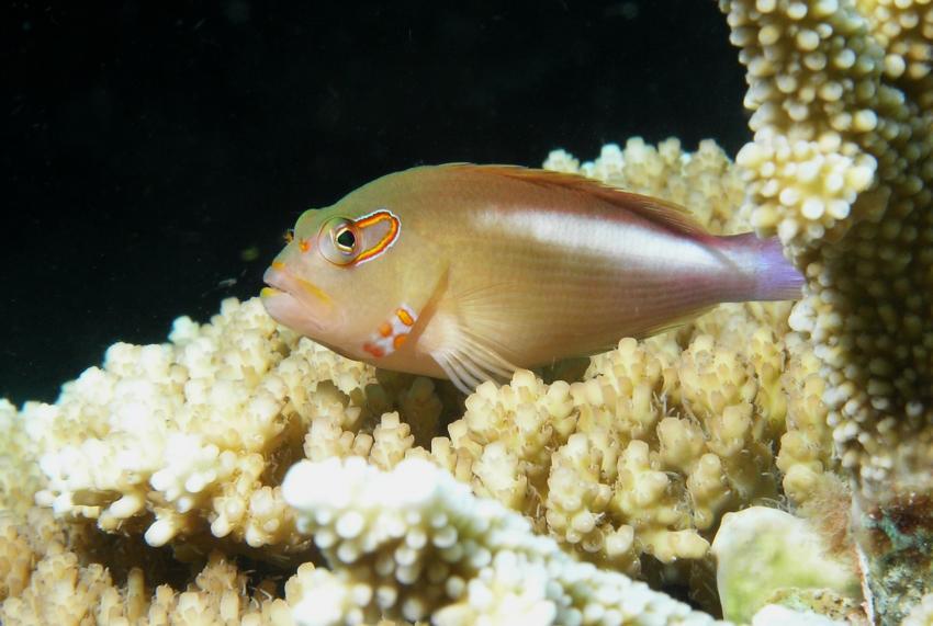 Layang Layang, Layang Layang,Malaysia,Korallenwächter