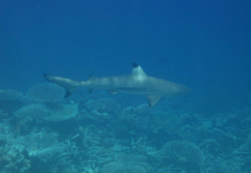 Embudu / Süd Male Atoll, Embudu,Malediven,Süd Male Atoll,Schwarzspitzenriffhai,Hai