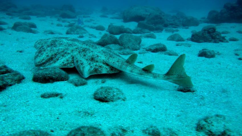 Engelhai, Engelhai, Daivoon Dive Center, Lanzarote, Costa Teguise, Spanien, Kanarische Inseln
