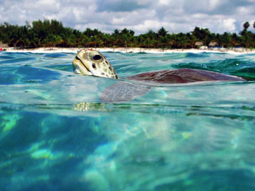 Schnorcheln mit Schildkröten, Schnorcheln mit Schildkröten, Blue Motion Diver, Playa del Carmen, Mexiko