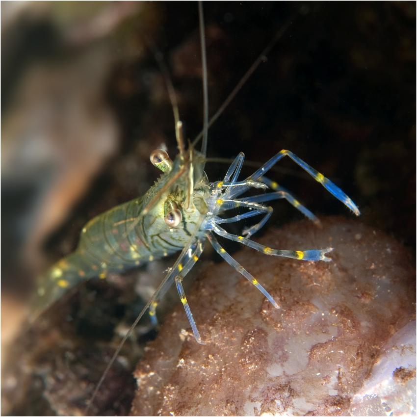 Grevelinger Meer, Krabben, Hummer, Garnelen, Bommenede,Grevelinger Meer,Niederlande,Garnele,Putzergarnele,transparent