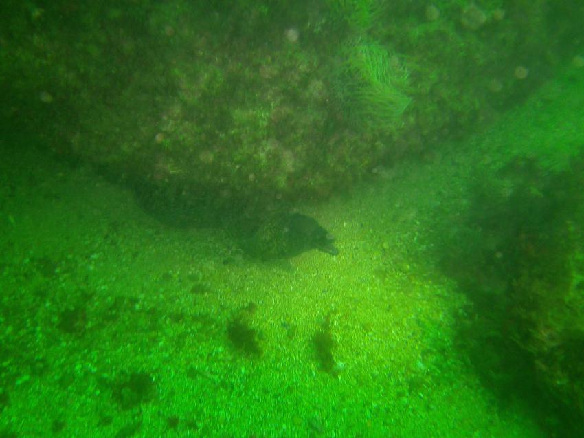 Muräne am Cape St. Vincent, Blue Ocean Divers, Lagos, Portugal