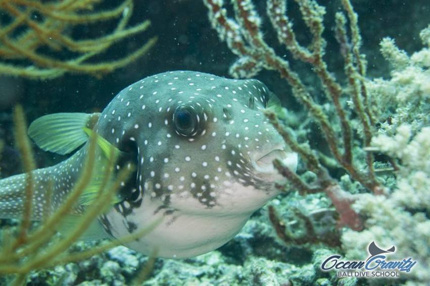 Pufferfish in Bali, Ocean Gravity Bali Dive School, Indonesien, Bali