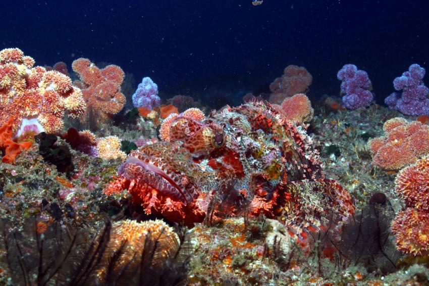 Tofo, Tofo,Mosambik,Skorpionsfische,Drachenkopf