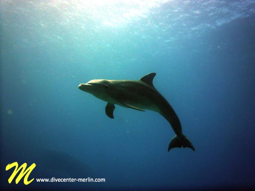 Dolphin, Merlin, Sosua, Dominikanische Republik