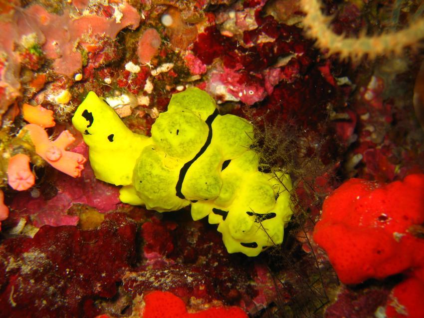 Panglao / Balicasag Isl., Balicasac Island,Panglao,Philippinen,nacktschnecke,gelb