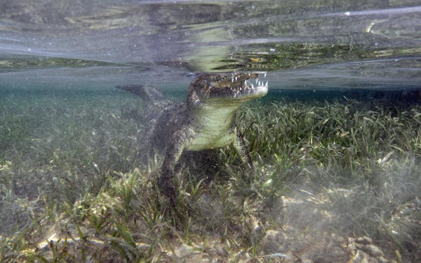 Tortuga, Kuba