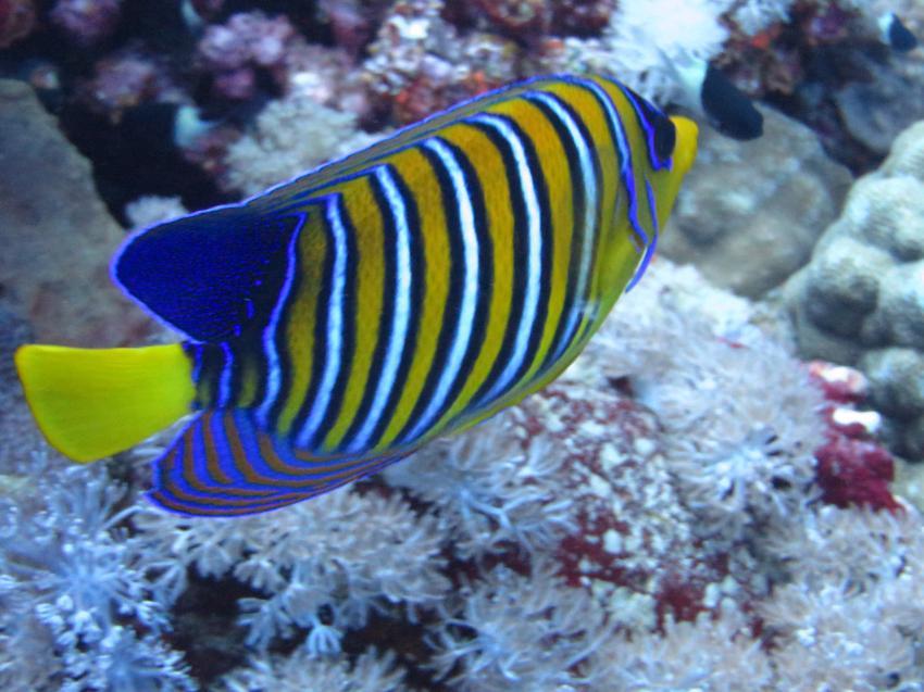 Pfauenkaiserfisch, Extra Divers - Equinox, Marsa Alam, Ägypten, Marsa Alam und südlich
