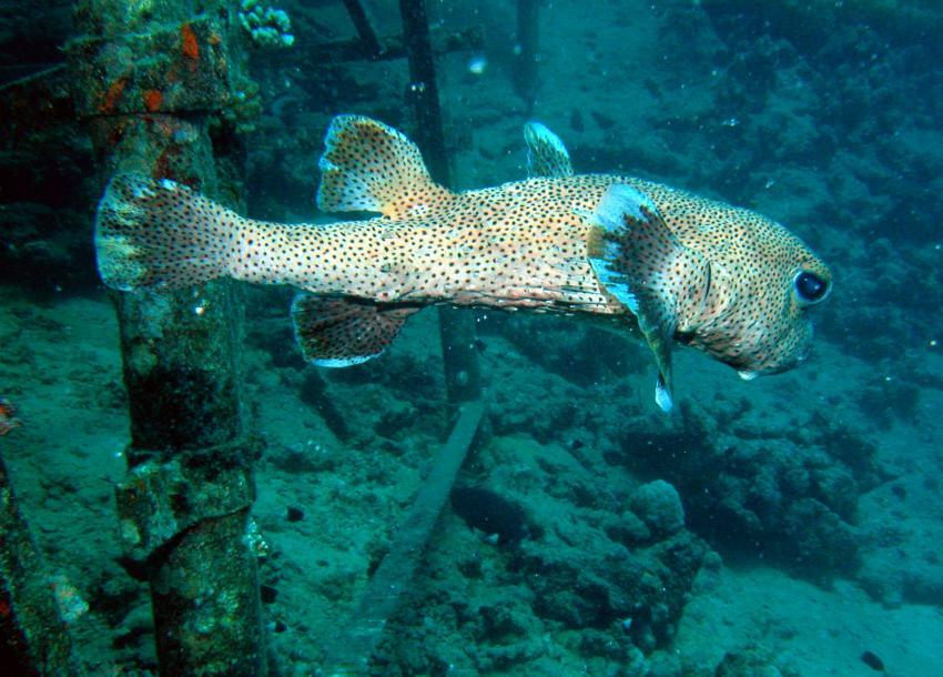 Zabargad Hausriff, Zarbagad,Ägypten,Igelfisch,Diodon hystrix